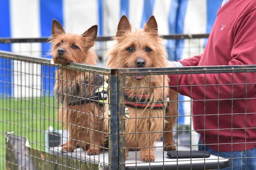 Belyndi Australian Terriers Surrey Team Belyndi Australian
